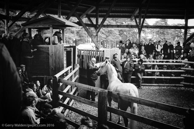 Buyers consider a palomino for sale in the auction ring at the New Forest pony sales in the New Forest National Park in Hampshire, England.